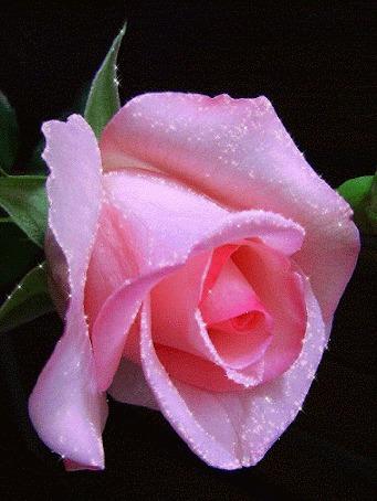 Анимация Нежная блестящая роза