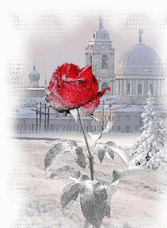 Анимация Роза в снегу на фоне дворцов