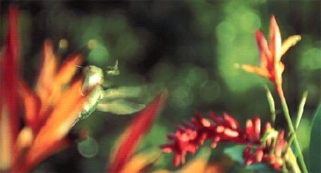 Анимация Колибри вращаясь догоняет насекомое в полете, над алыми цветами