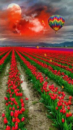 Анимация Ряды красных тюльпанов, над которыми летают бабочки и воздушный шар в небе