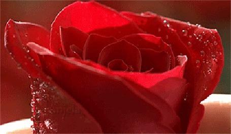 Анимация Красная роза и девушка с розой