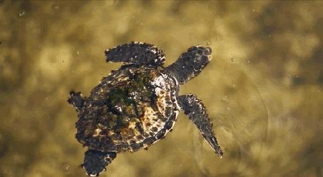 Анимация Черепаха медленно скользит в прозрачной воде