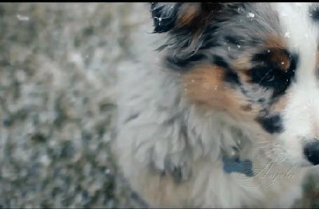 Анимация Австралийская овчарка / Аусси со снежинками на голове