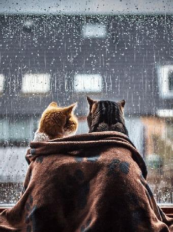 Анимация Два кота, укрытые пледом, сидят у окна, за которым идет дождь