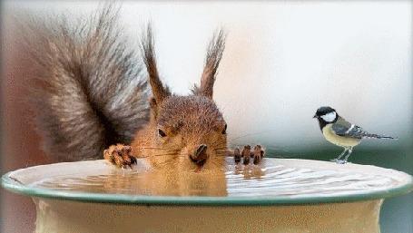 Анимация Белка с семечкой на носу пьет воду из миски, на краю миски пьет воду синичка