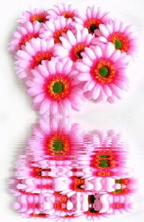 Анимация Розовые герберы в отражение воды (© elenaiks), добавлено: 11.08.2016 06:01