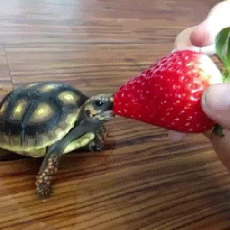 Анимация Маленькая черепашка ест клубнику