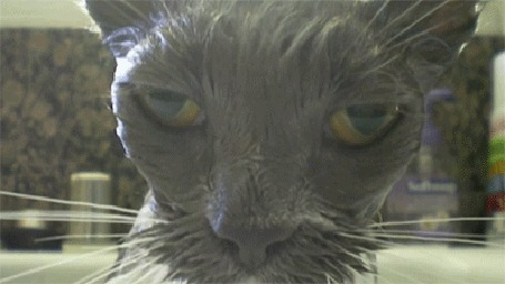 Анимация Тяжелый взгляд мокрого, сердитого кота, вылезшего из ванны