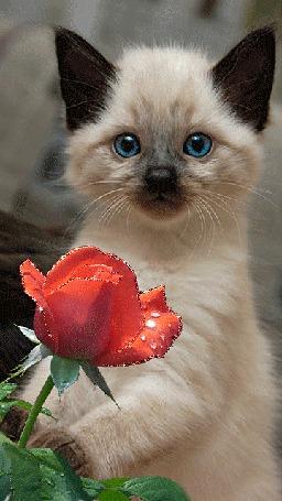 Анимация Сиамский котенок с голубыми глазами на фоне розы с каплями росы