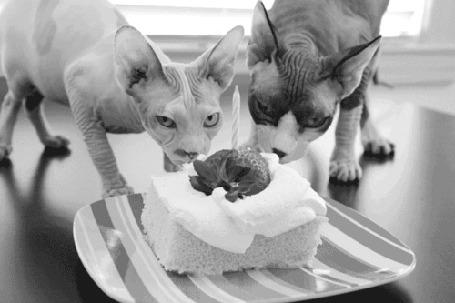 Анимация Две лысые кошки едят торт