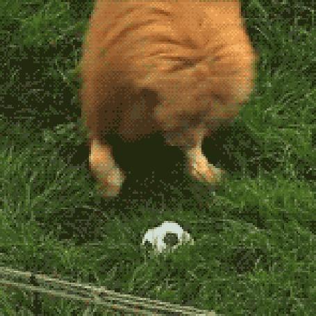 Анимация Лев гоняет футбольный мяч в загоне