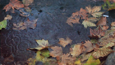 Анимация Капли нудного осеннего дождя падают на воду, устланную опавшими, багровыми кленовыми листьями