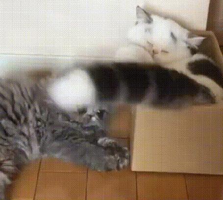 Анимация Кот лежит в коробке и виляет хвостом, с которым играет другой кот, который лежит на полу