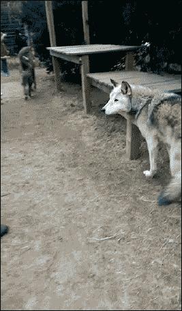Анимация Волк белый ест с рук