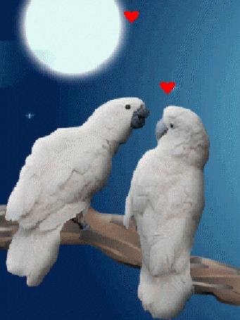 Анимация Два белых попугая целуются на жердочке на фоне полной луны и красных маленьких сердечек (© elenaiks), добавлено: 14.09.2016 11:02