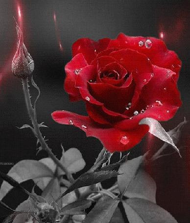 Анимация Красная роза с бутонами