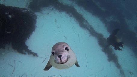 Анимация Тюлень поднимается к поверхности воды