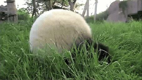 Анимация Панда катится кубарем вниз с горы