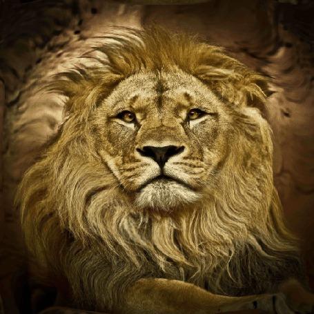 Анимация Морда льва крупным планом
