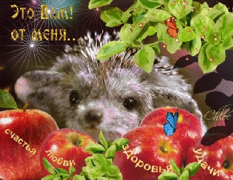 Анимация Ежик принес для Вас волшебных яблок и щедро одаривает Вас через картинку (Это Вам от меня)
