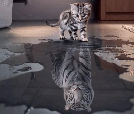Анимация Котенок видит себя тигром в луже воды