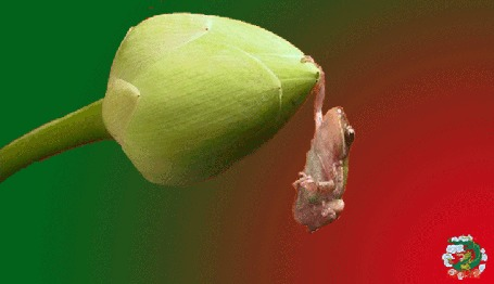 Анимация Лягушонок висит на цветочном бутоне