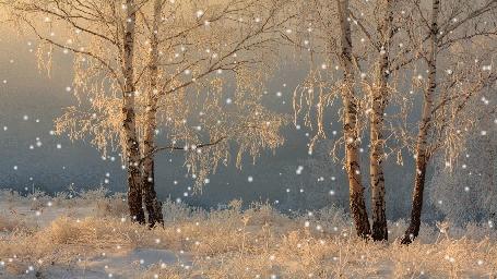 Анимация Стайка березок, покрытых инеем в сказочно красивом лесу