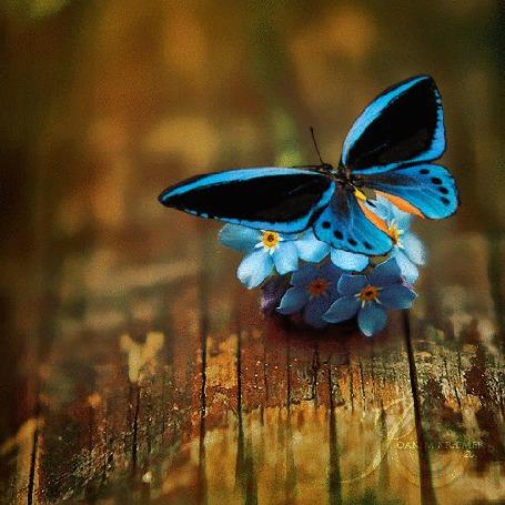 Анимация Голубая бабочка сидит на букетике синих незабудок, махая крылышками