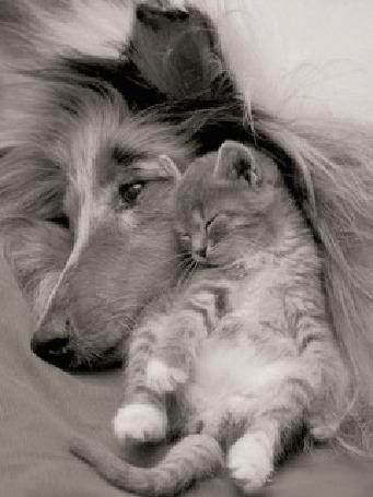 Анимация Котенок прижавшись к собаке, во сне двигает носиком и ушком