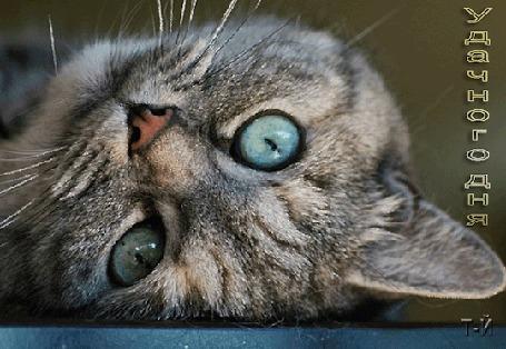 Анимация Серый кот с голубыми глазами, (Удачного дня), автор Т-й