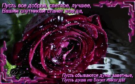 Анимация Бархатная бордовая роза на воде, надпись (Пусть все доброе, светлое, лучшее Вашим спутником станет всегда, Пусть сбываются думы заветные, пусть душа не болит никогда!)