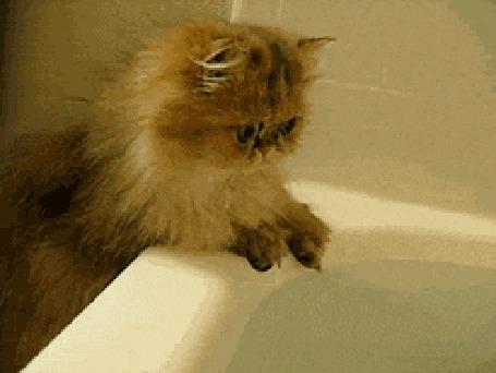 Анимация Сиамский котенок проверяет лапой температуру воду в ванне