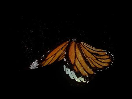 Анимация Бабочка летит на черном фоне