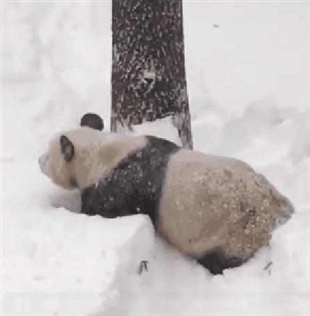 Анимация Панда катается и играет в снегу