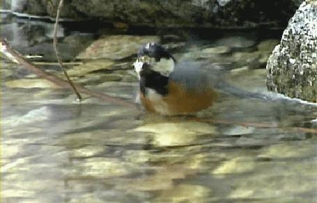 Анимация Птица плещется в воде