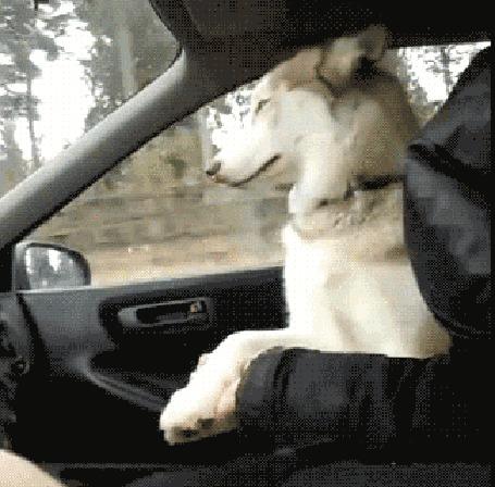 Анимация Пес на переднем сиденье с хозяином