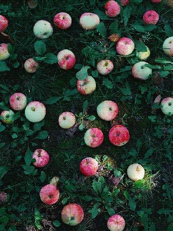 Анимация Яблоки лежат в траве