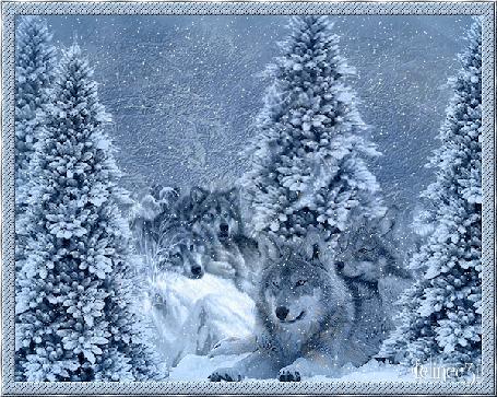 Анимация Волки лежат на снежных сугробах на фоне елок, by Clinec31