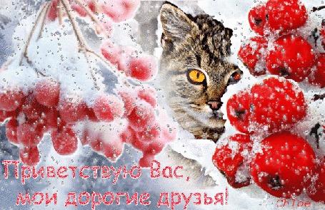 Анимация Котик выглядывает среди снежных рябиновых веток, (Приветствую Вас, мои дорогие друзья! )