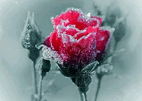 Анимация Розовая роза с бутонами в инее