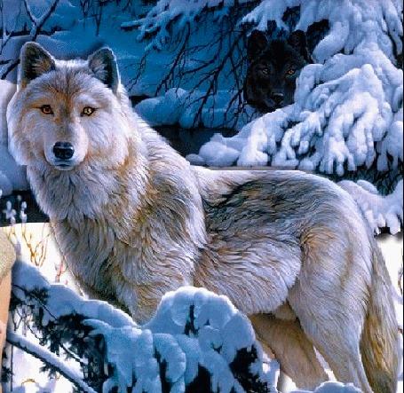 Анимация Волк стоит у заснеженных ветвей елок, черный волк выглядывает из-за дерева