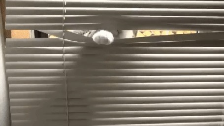 Анимация Любопытный кот подсматривает через жалюзи