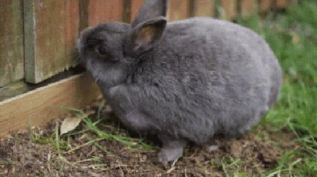 Анимация Кролик копал копал ямку лапками у забора и устал, завалился на бок отдохнуть
