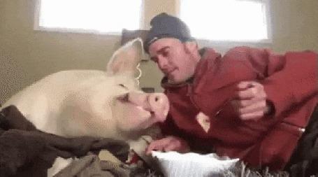 Анимация Мужчина в сарае кормит свинью ложкой из миски