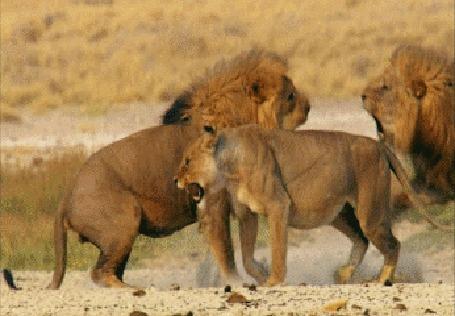 Анимация Два льва яростно бьются за львицу