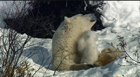 Анимация Белый медвежонок пытается играть с мамой медведицей, которая лежит на снегу, забирается на нее и пытается укусить