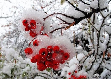 Анимация Рябина под снегом