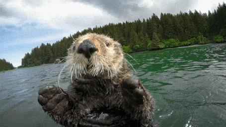 Анимация Выдра, плавающая в реке, обратила внимание на камеру