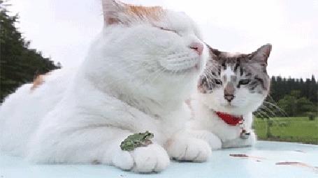 Анимация Два белых кота, на лапе одного из них сидит маленькая лягушка