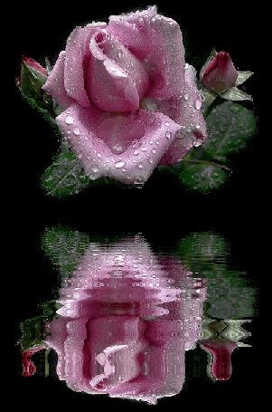 Анимация Розовая роза с капельками на темном фоне отражается в воде
